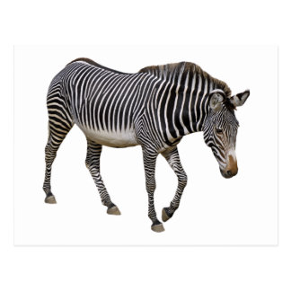 Isolated Grevy zebra Postcard