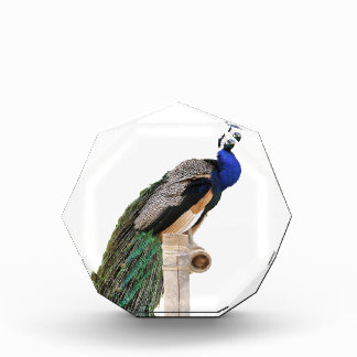 Isolated Indian Peafowl on perch Award