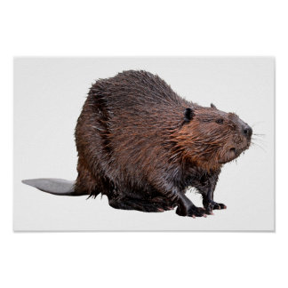 Isolated North American Beaver Poster