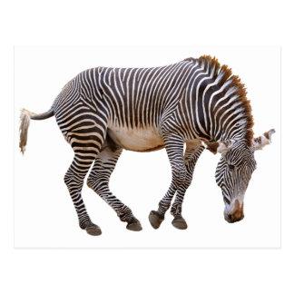 Isolated zebra of Grevy Postcard
