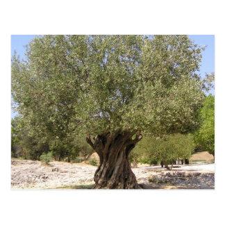 Israel Olive Tree Postcard
