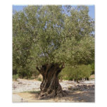 Israel Olive Tree Poster