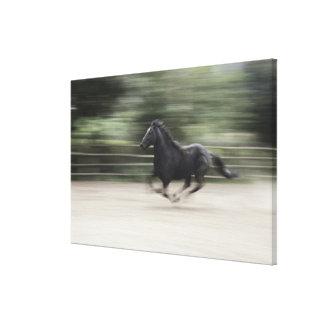 Italia, Latium, galope del caballo de Maremma (bor Impresiones En Lona Estiradas