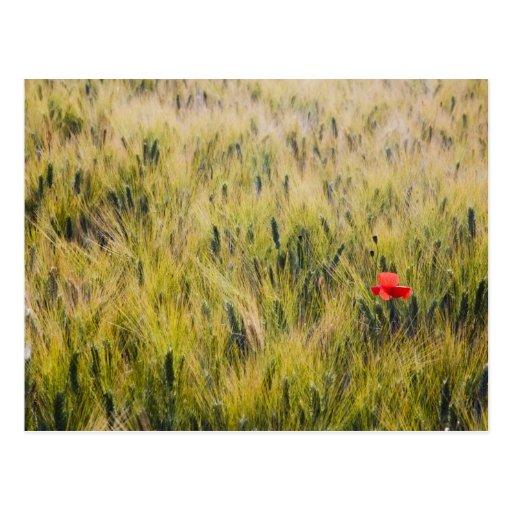 Italia, Toscana, amapola solitaria en trigo de Postales