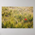 Italia, Toscana, amapola solitaria en trigo de pri Póster