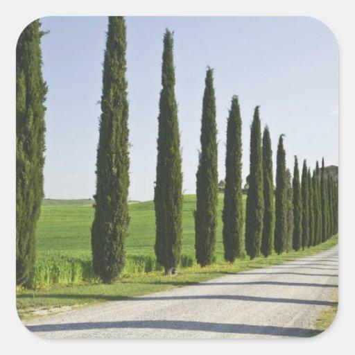 Italia, Toscana. Línea de árboles de Cypress Calcomania Cuadradas