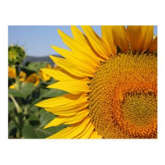 Italian Sunflower Postcard