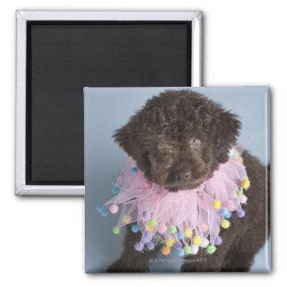 Italian Water Dog (Lagotto) Puppy Refrigerator Magnets