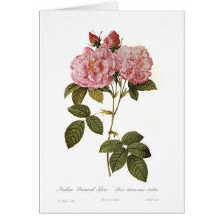 Italica del damascena de Rosa Tarjetas