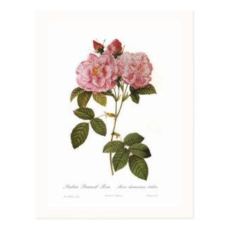 Italica del damascena de Rosa Postales