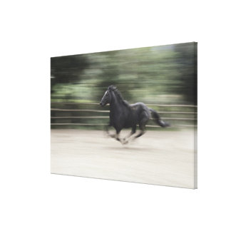 Italy, Latium, Maremma horse galloping (blurred Canvas Print