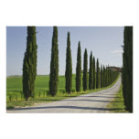 Italy, Tuscany. Cypress trees line driveway to Poster