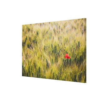 Italy, Tuscany, Lone poppy in Spring Wheat Canvas Print