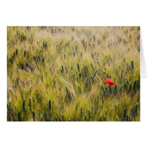 Italy, Tuscany, Lone poppy in Spring Wheat Card