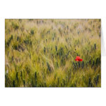 Italy, Tuscany, Lone poppy in Spring Wheat Greeting Card