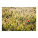 Italy, Tuscany, Lone poppy in Spring Wheat Photo Print