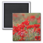 Italy, Tuscany, Mass of Summer Poppies in Fridge Magnets