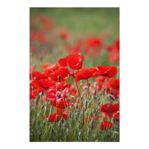Italy, Tuscany, Mass of Summer Poppies in Art Photo