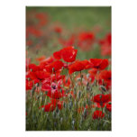 Italy, Tuscany, Mass of Summer Poppies in Posters