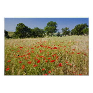 Italy, Tuscany, Meadow with Summer Poppies and Poster