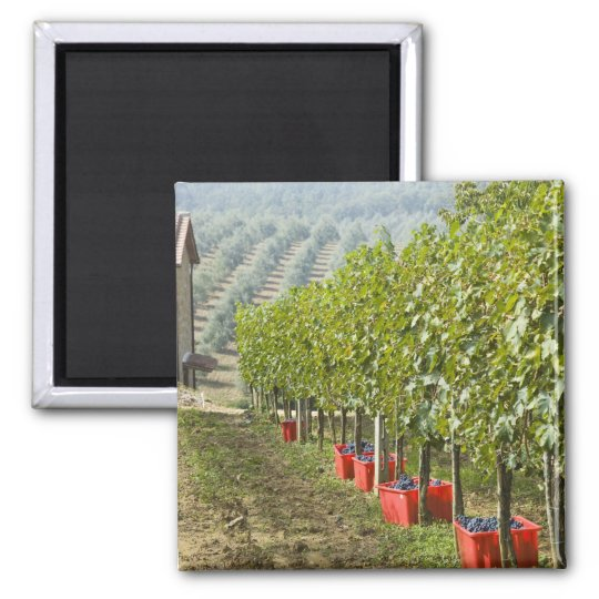 Italy, Tuscany, Montalcino. Bins of harvested Magnet