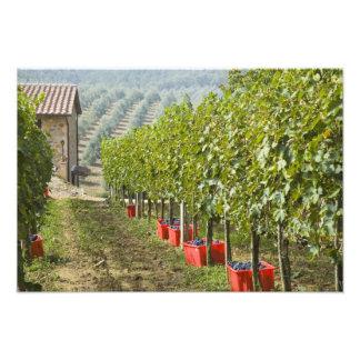 Italy, Tuscany, Montalcino. Bins of harvested Photo Print