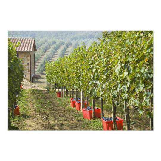 Italy, Tuscany, Montalcino. Bins of harvested Photo Print