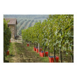Italy, Tuscany, Montalcino. Bins of harvested Poster