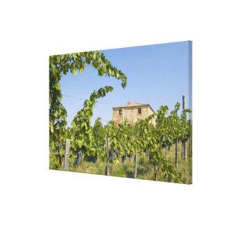 Italy, Tuscany, Montepulciano. Wine grapes ready Canvas Print
