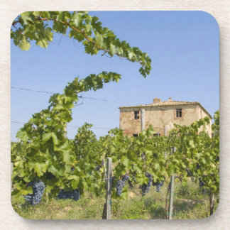 Italy, Tuscany, Montepulciano. Wine grapes ready Beverage Coaster