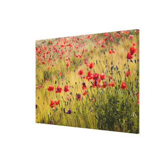 Italy, Tuscany, Poppies in Spring Wheat Field. Canvas Print