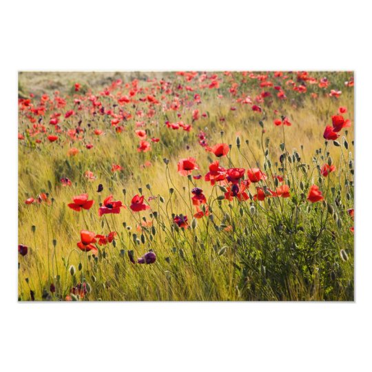 Italy, Tuscany, Poppies in Spring Wheat Field. Photo Print