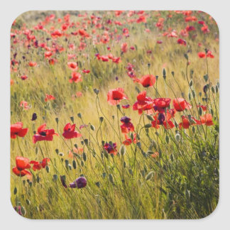 Italy, Tuscany, Poppies in Spring Wheat Field. Square Sticker