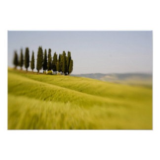 Italy Tuscany, Selective Focus Cypress Trees Poster