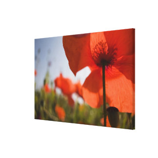 Italy, Tuscany, Summer Poppies in Tuscany Widw 3 Canvas Print