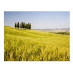 Italy, Tuscnay, Grouping of Tuscan Cypress 2 Postcards