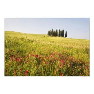 Italy, Tuscnay, Grouping of Tuscan Cypress Photo Print