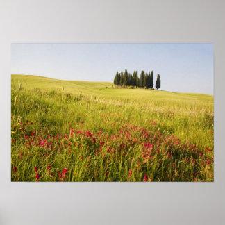 Italy, Tuscnay, Grouping of Tuscan Cypress Poster