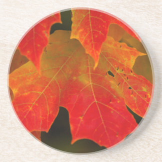 Itasca State Park, Fall Colors 2 Beverage Coaster