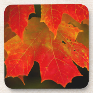 Itasca State Park, Fall Colors 2 Coaster