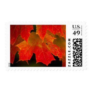 Itasca State Park, Fall Colors 2 Stamp