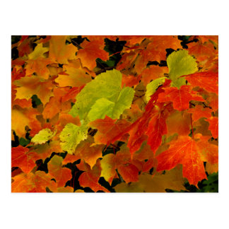 Itasca State Park, Fall Colors Postcard