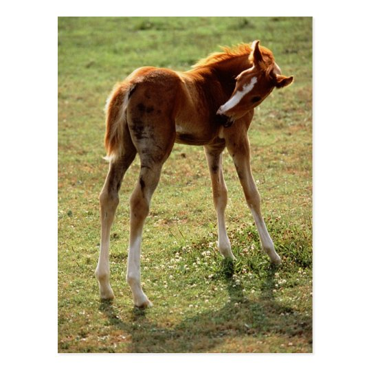Itchy Foal Postcard
