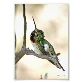 Itchy Hummingbird Photo Print