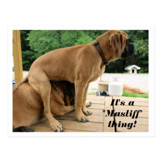"It's A ""Mastiff"" thing! silly English Mastiff dogs Postcard"