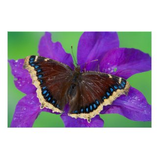 It's A Mourning Cloak Butterfly Poster