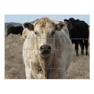 It's a Roundup! Black & White Cow Herd - Charolais Postcard