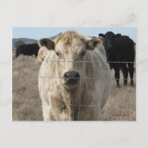 "It's a Roundup! Cattle - Western ""Save the Date"" Announcement Postcard"