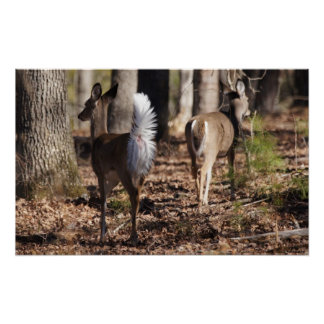 Its why I am called a Whitetail Deer Poster