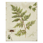 Ivies and Ferns Posters